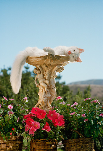 CAT 01 RC0009 01 © Kimball Stock White Long-Haired Cat Lounging In Birdbath By Flowers Blue Sky