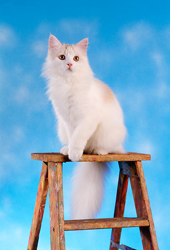 CAT 01 RC0010 01 © Kimball Stock White Long-Haired Cat Sitting On Top Of Ladder Blue Background