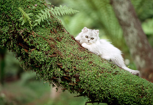CAT 01 RC0011 01 © Kimball Stock White Long-Haired Cat Laying On Tree Branch