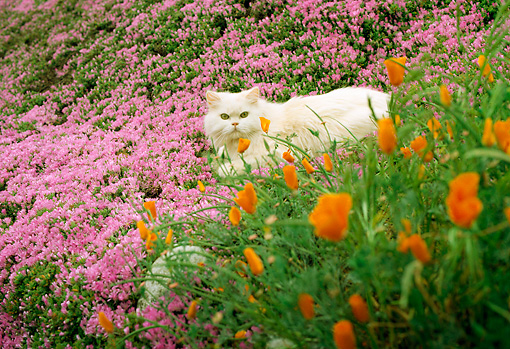 White persian cat walking in field of pink and orange flowers kimballstockcat 01 rc0013 01preview mightylinksfo