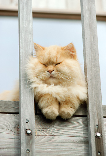 CAT 01 RC0015 01 © Kimball Stock Head On View Of Orange Persian Cat Laying On Deck Between Posts