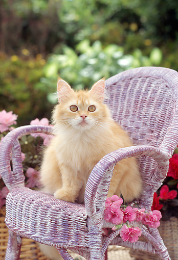 CAT 01 RC0016 01 © Kimball Stock Head On View Of Orange Persian Cat Sitting In Lavender Wicker Chair In Garden