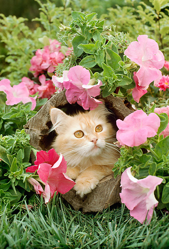 CAT 01 RC0019 01 © Kimball Stock Orange Persian Cat Laying In Hollow Log With Pink Flowers