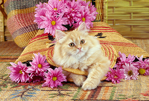CAT 01 RC0020 01 © Kimball Stock Orange Persian Cat Laying In Basket With Pink Flowers