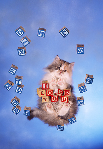 CAT 01 RC0022 01 © Kimball Stock Gray Persian Cat Standing On Glass With Blocks Over Camera