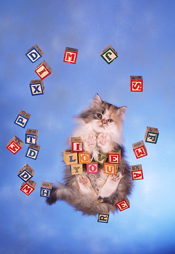CAT 01 RC0023 01 © Kimball Stock Gray Persian Cat Standing On Glass With Blocks Over Camera