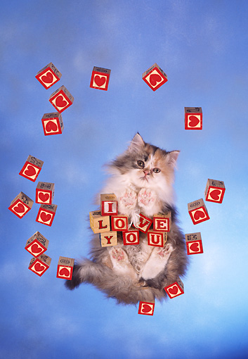 CAT 01 RC0024 01 © Kimball Stock Gray Persian Cat Standing On Glass With Blocks Over Camera