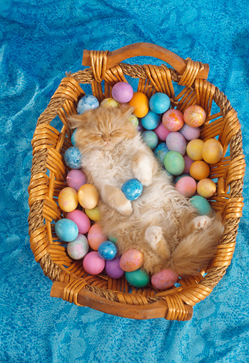 CAT 01 RC0027 01 © Kimball Stock Orange Tabby Persian Cat Sleeping On Back In Basket Of Colored Eggs