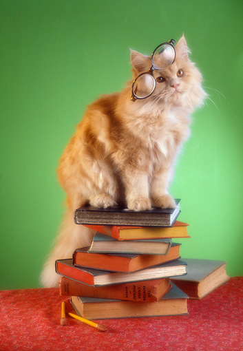 CAT 01 RC0028 01 © Kimball Stock Orange Tabby Cat Sitting On Stack Of Books Glasses On Head