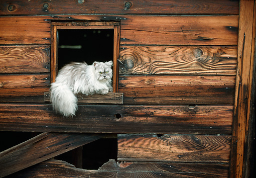 CAT 01 RC0029 01 © Kimball Stock Gray Persian Cat Laying On Wooden Window Sill