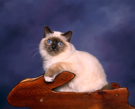 CAT 01 RK0007 01 © Kimball Stock Birman Seal And Blue Point In Planter