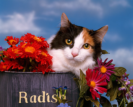 CAT 01 RK0010 03 © Kimball Stock Head Shot Of Japanese Bobtail  Calico By Flowers