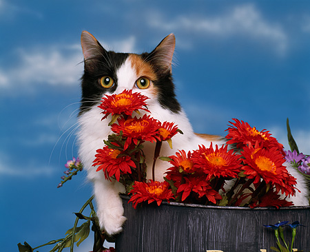 CAT 01 RK0011 01 © Kimball Stock Japanese Bobtail Calico In Pail By Flowers