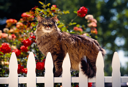 CAT 01 RK0127 12 © Kimball Stock Brown Tabby Cat On White Fence