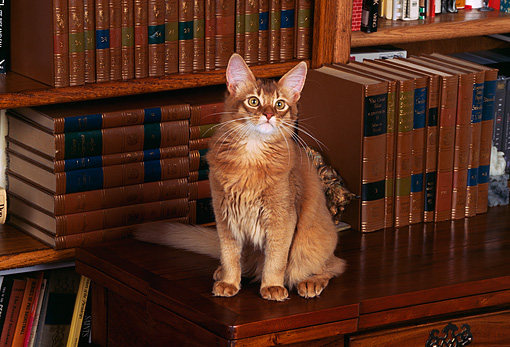 CAT 01 RK0138 10 © Kimball Stock Somali Ruddy Cat Sitting On Wooden Desk