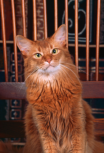 CAT 01 RK0142 01 © Kimball Stock Somali Ruddy Cat Sitting On Wooden Chair