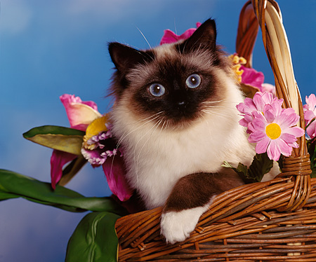 CAT 01 RK0166 02 © Kimball Stock Head Shot Of Birman Chocolate Point In Basket By Flowers