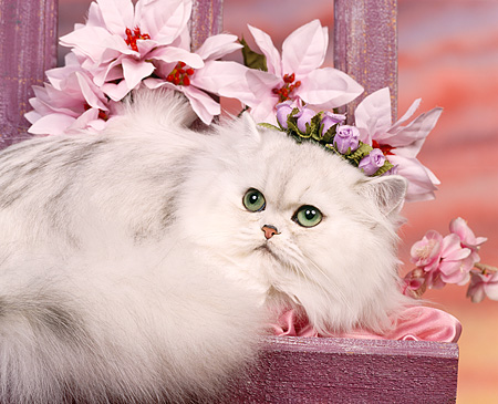 CAT 01 RK0188 03 © Kimball Stock Persian Shaded Silver Laying By Pink Flowers Studio