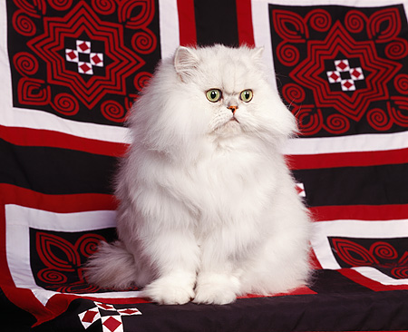 CAT 01 RK0204 03 © Kimball Stock Persian Chinchilla Sitting On Red White And Black Sheet Studio
