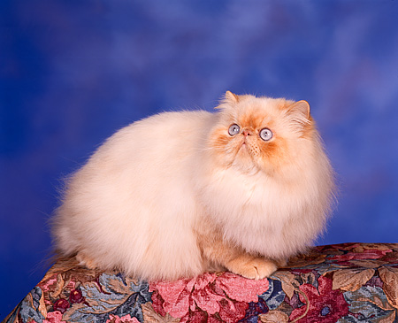 CAT 01 RK0212 07 © Kimball Stock Persian Cream Point Studio