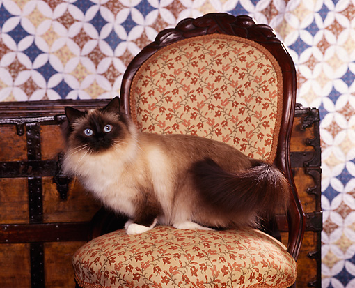 CAT 01 RK0214 02 © Kimball Stock Birman Seal Point Sitting On Chair