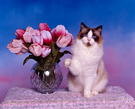 CAT 01 RK0236 10 © Kimball Stock Ragdoll Seal Bicolor Sitting By Flowers Studio