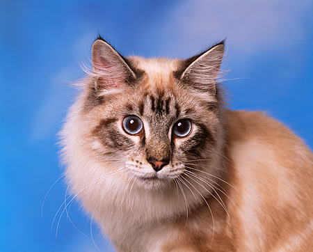 CAT 01 RK0244 02 © Kimball Stock Head Shot Of Classic Lynx Point Cloudy Blue Sky