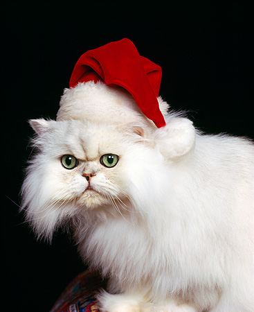 CAT 01 RK0254 02 © Kimball Stock Persian Chinchilla Wearing Santa Hat Studio