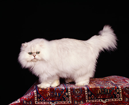 CAT 01 RK0256 03 © Kimball Stock Persian Chinchilla Standing On Oriental Rug Studio