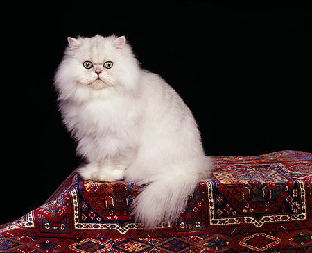 CAT 01 RK0257 04 © Kimball Stock Persian Chinchilla Sitting On Oriental Rug Studio