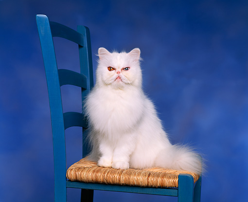 CAT 01 RK0261 03 © Kimball Stock Persian Bicolor Eyes Sitting On Chair Studio