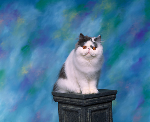 CAT 01 RK0280 02 © Kimball Stock Persian Blue And White Sitting On Pedestal Studio