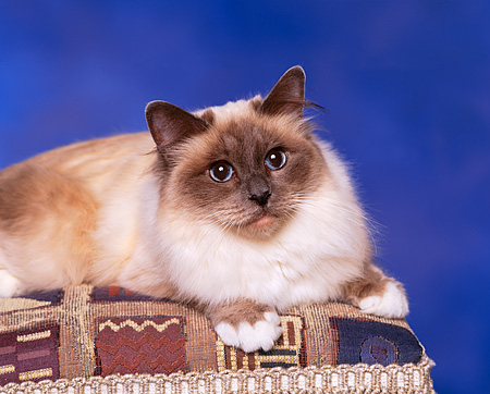 CAT 01 RK0291 02 © Kimball Stock Birman Chocolate Point Laying On Stool Studio