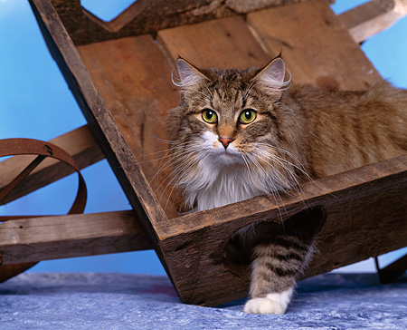 CAT 01 RK0297 01 © Kimball Stock Close Up Of Norwegian Forest Cat Standing In Tipped Wheelbarrow