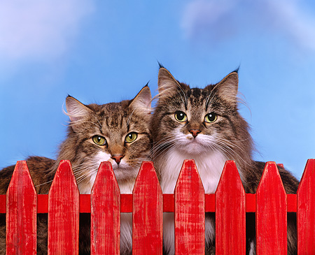 CAT 01 RK0299 01 © Kimball Stock Two Norwegian Forest Cats By Fence