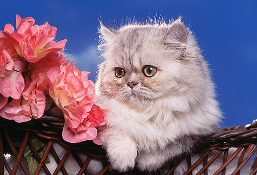 CAT 01 RK0322 05 © Kimball Stock Head Shot Of Persian Shaded Silver Laying In Basket By Flowers