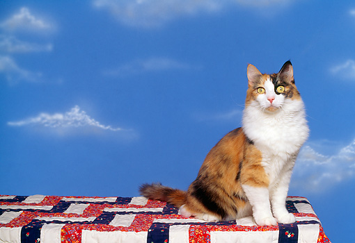 CAT 01 RK0329 02 © Kimball Stock Long-haired Calico Cat Sitting On Quilt Blue Sky Studio