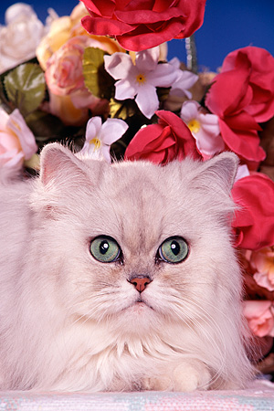 CAT 01 RK0336 11 © Kimball Stock Head Shot Of Shaded Silver Persian By Flowers