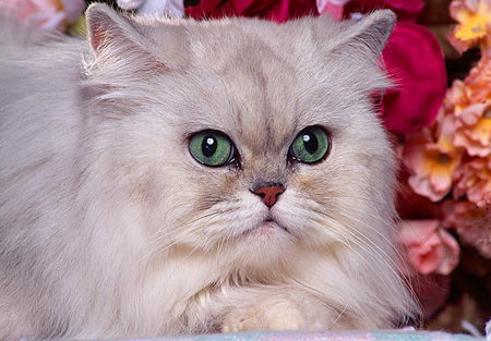 CAT 01 RK0336 20 © Kimball Stock Head Shot Of Shaded Silver Persian By Flowers