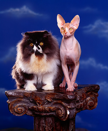 CAT 01 RK0340 03 © Kimball Stock Persian And Sphynx Sitting Together On Pedestal