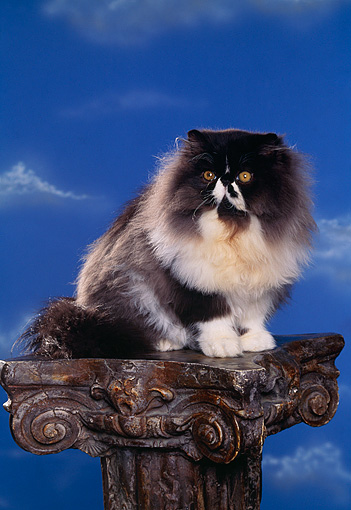 CAT 01 RK0344 09 © Kimball Stock Persian Black And White Sitting On Pedestal