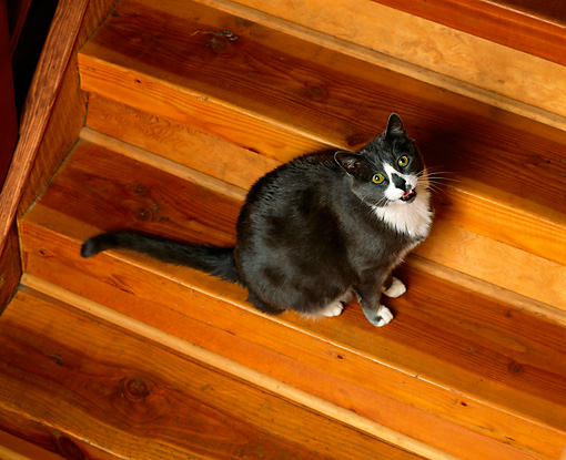CAT 01 RK0419 02 © Kimball Stock Gray And White American Longhair Sitting On Wooden Steps Looking Up