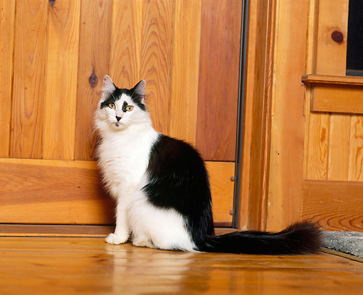 CAT 01 RK0421 03 © Kimball Stock Black And White American Longhair Sitting On Wooden Floor