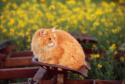 CAT 01 RK0422 06 © Kimball Stock Orange Longhair Cat Sitting On Tractor Seat Yellow Flower Field