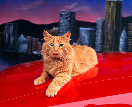 CAT 01 RK0423 08 © Kimball Stock Orange Cat Laying On Red Car City View Studio