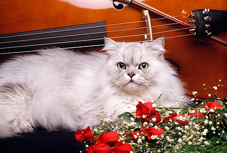 CAT 01 RK0438 04 © Kimball Stock Persian Silver Shaded Laying By Roses And Cello