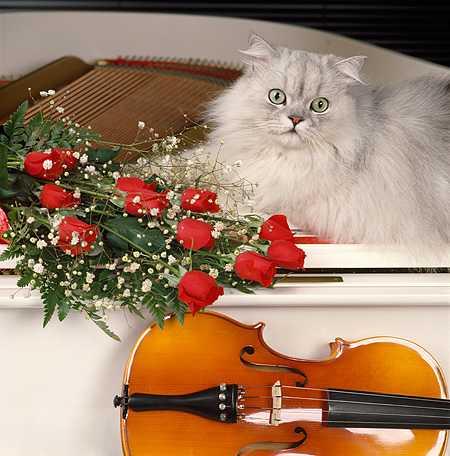 CAT 01 RK0443 16 © Kimball Stock Persian Shaded Silver Laying On White Piano Next To Red Roses And Violin