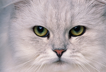 CAT 01 RK0476 03 © Kimball Stock Close Up Face Shot Of Shaded Silver Persian Cat
