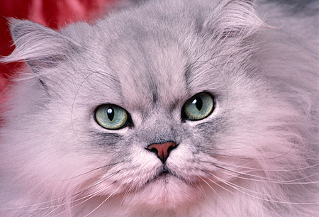 CAT 01 RK0483 12 © Kimball Stock Close Up Head Shot Of Face Persian Shaded Silver