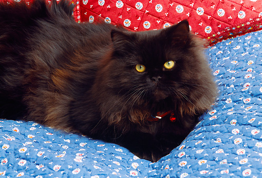CAT 01 RK0507 03 © Kimball Stock Black Persian Cat Laying On Blue Quilt